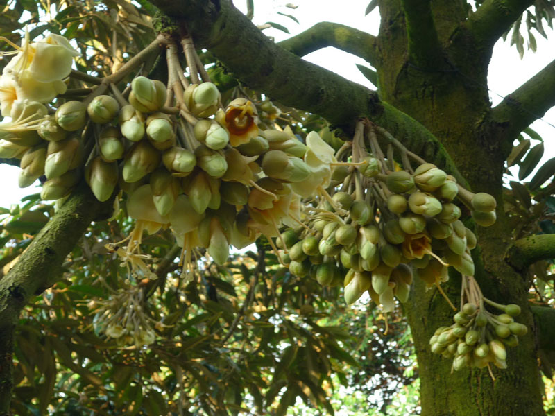 flowers of durian
