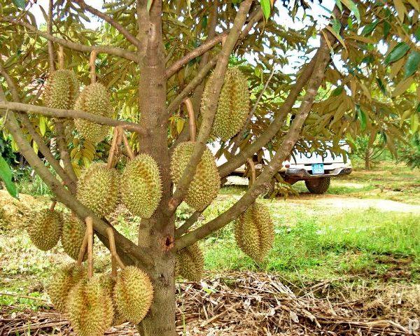 Durian musang king tree