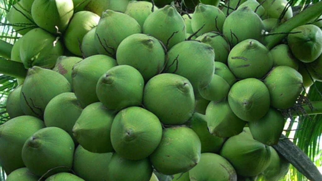 Chùm quả dừa tươi