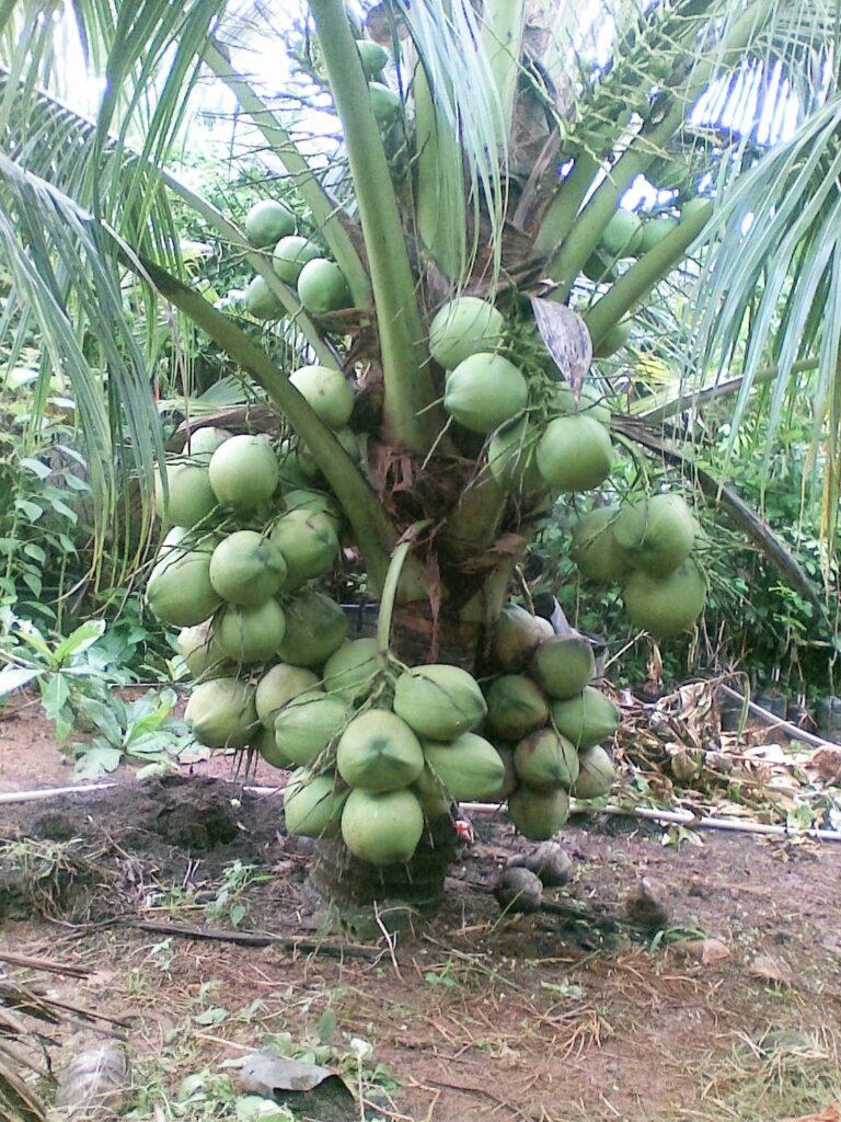Cây dừa thái siêu lùn